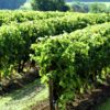 Grosse Hagelschäden in der Region Cognac
